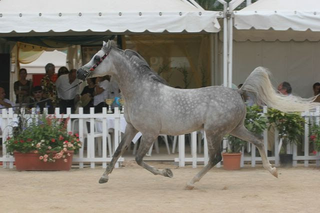 CHAMPIONSHIP OF ARABIAN HORSES OF THE MEDITERANEAN AND THE ARABIAN COUNTRIES - MENTON